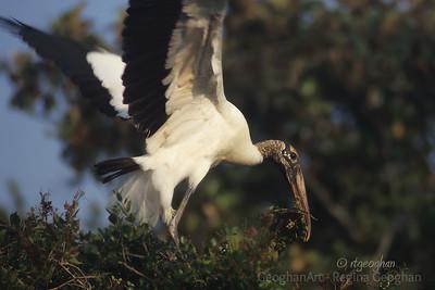Wood Stork Making Nest