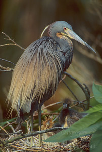 Nesting Tri-colored Heron