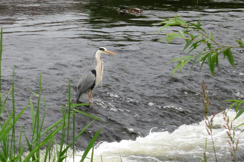 BR 24  Heron on the Tweed  River