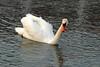 BR 41 Fluffy Swan
