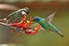 BR 11 Hummingbird