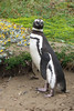 BR 33 Penguin Staring