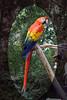 ZO 12 Macaw