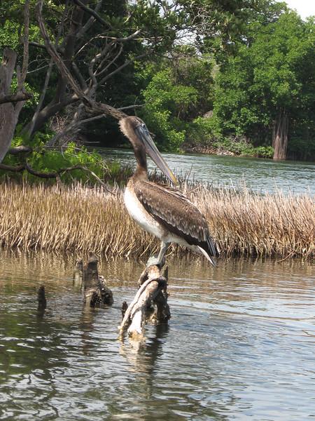 BR 56 Pelican on Log