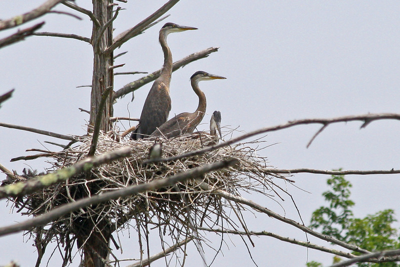 BR 15 Three Herons in a Nest