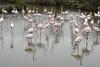 BR 49 Flamingo Flock