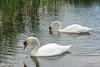 BR 30 Two Swans Feeding