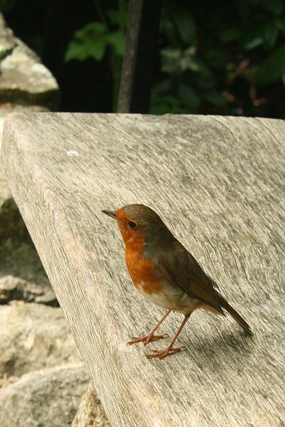 BR 44 English Robin