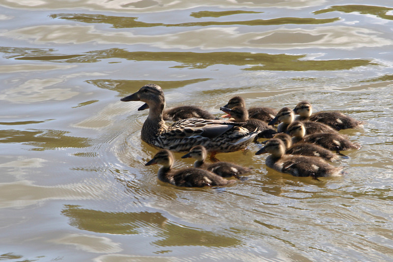 BR 35 Mother and Brood
