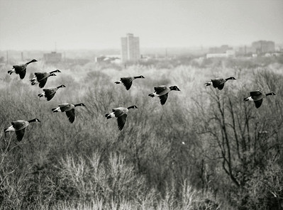 Eye Level View of Flying Canadian Geese