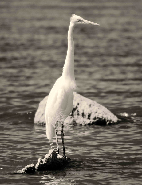 White Heron at the Salton Sea