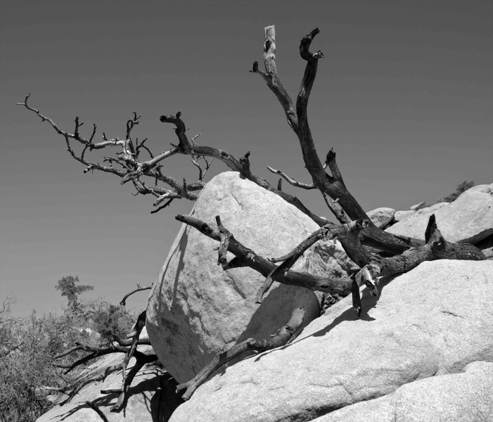Rocks and Branches in Joshua Tree