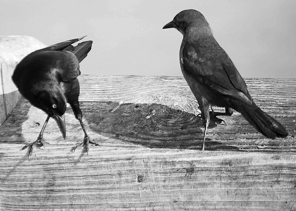 Folly Beach Grackles