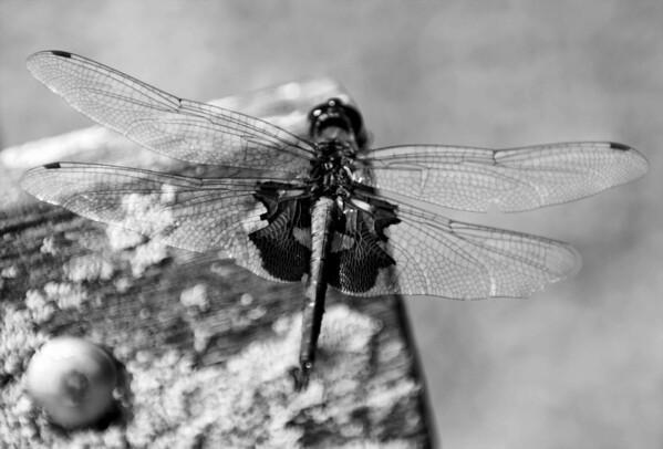 Photogenic Dragonfly