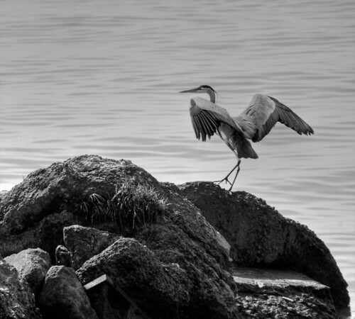 Blue Heron about to Take-Off