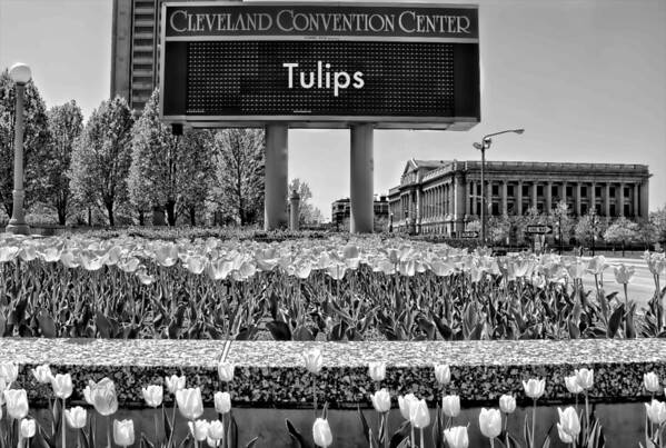 Tulips at Cleveland Convention Center