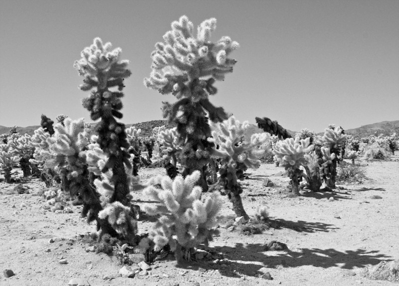 Cactus in Joshua Tree National Park