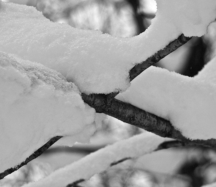 Snowy Bracnches
