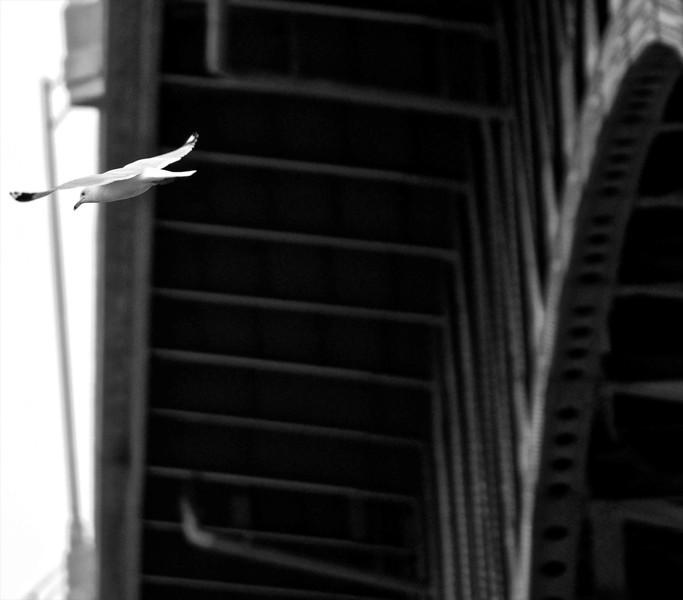 Fly By Gull Under Flats Bridge