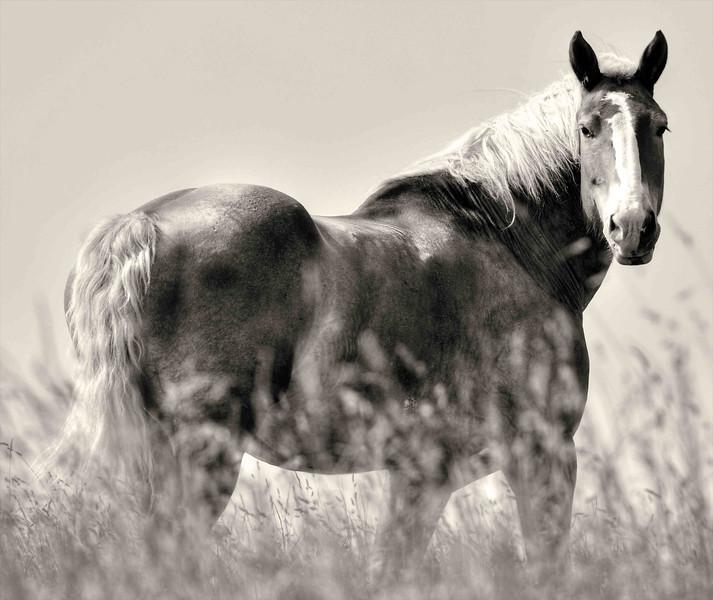 Amish Horse in Pasture