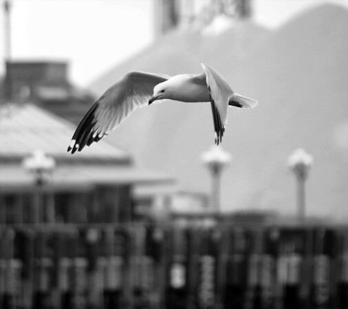 Lake Gull in Flight