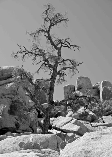 Lone Tree in Joshua Tree