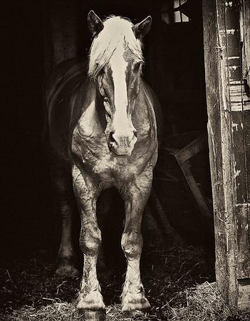 Amish Work Horse