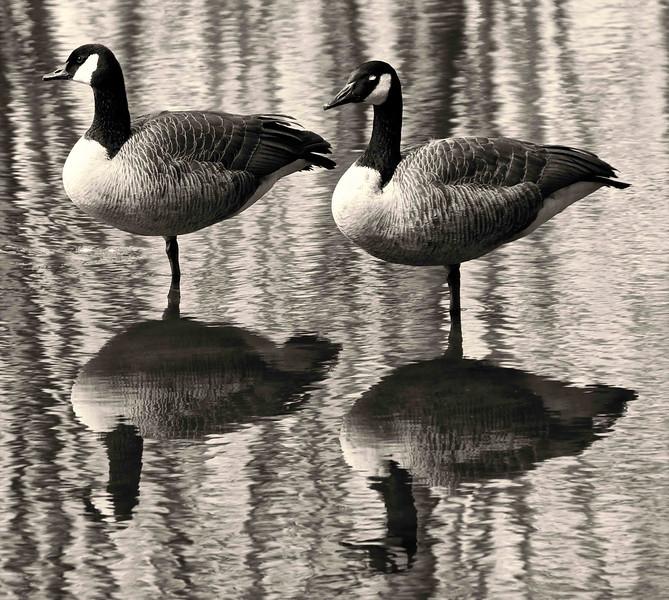 One Legged Geese