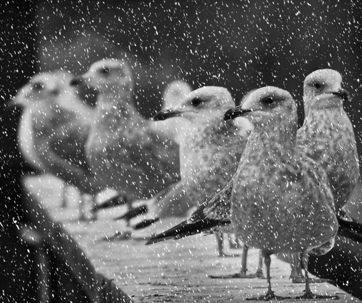 Gull Huddle