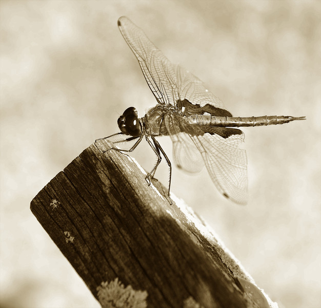 Dragon Fly Posing for Photograph