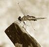 Dragon Fly Posing for Photograph