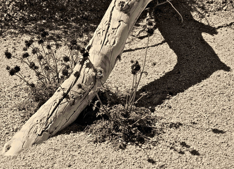 Wood and Plant Life in Joshua Tree National Park