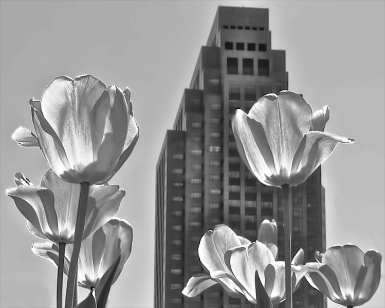 Tulips Standing Up to Key Center