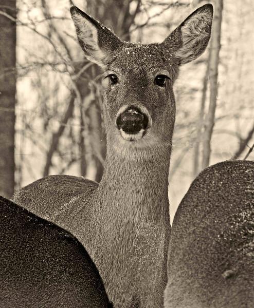 Deer Huddle