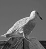Perched Sea Gull