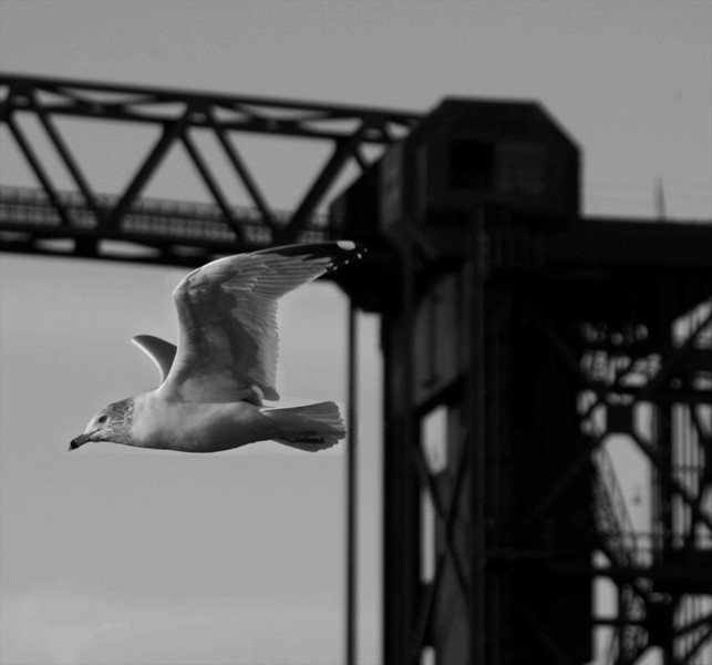 Fly By Lake Gull