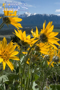 1618-1619 Mount Fisher and Balsamroot Flowers.