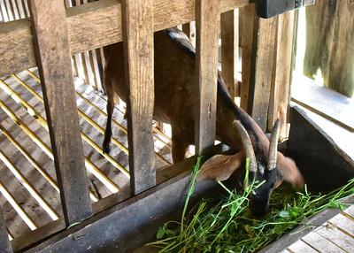 NIC_0130-7x5-Milking Goats