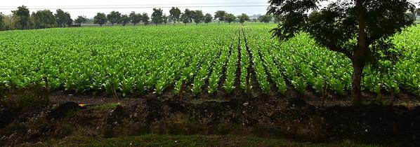 NEA_0026-Tobacco Field
