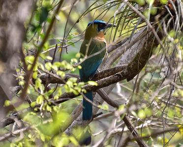 NEA_0439-Nicaragua national Bird-Turquoise-browed motmot