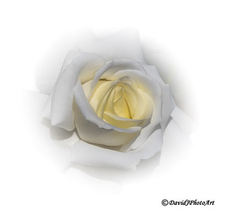 """Wedding Rose"""