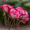 """""""Razzle Dazzle Roses"""""""