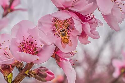 """Peach Blossom Bee"""
