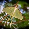 """""""Luna Moth"""""""