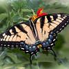 """""""Butterfly Dream"""""""