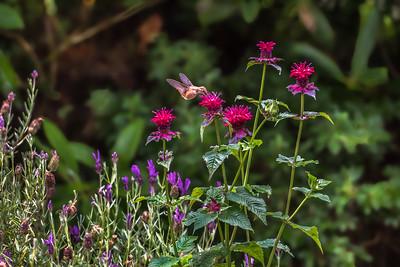 """Long Journey Hummingbird"""