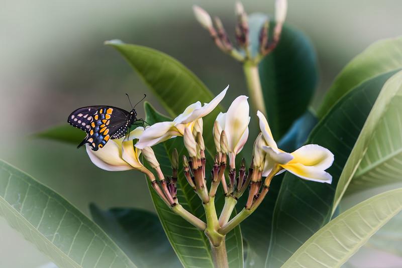 """""""Plumeria Paradise"""""""
