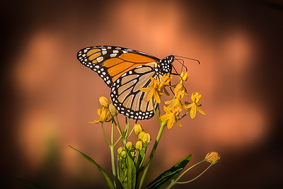 """Golden Hour Monarch"""