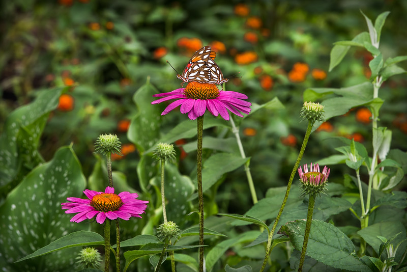 """Echinacea Excitement"""
