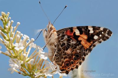 Butterflies Admirals and Ladies